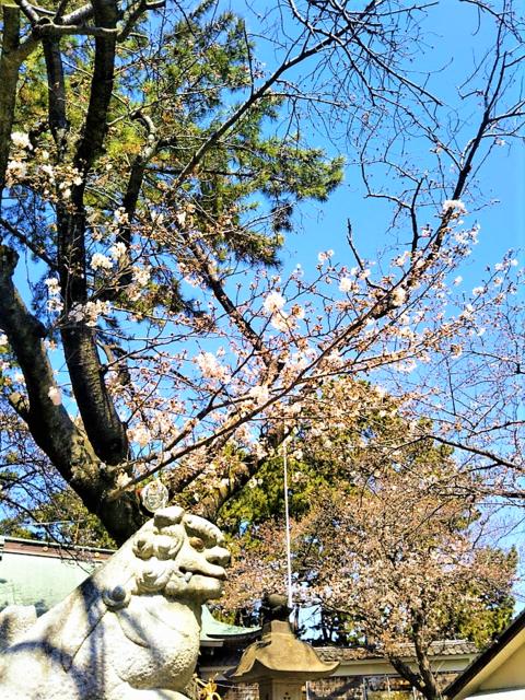 三嶋の桜.png