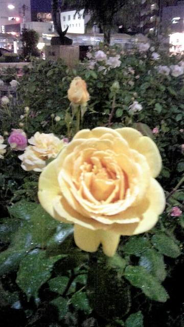 南口のバラ.jpg