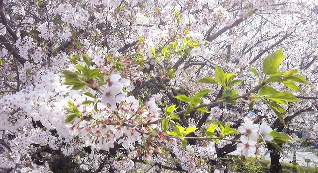 葉桜2 (2).jpg